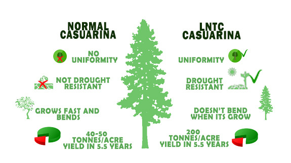 All You have to Know About Casuarina, Produce 140 Tonnes Per